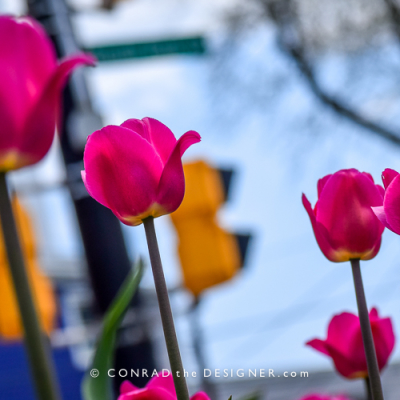 Tulips waiting at the Lights